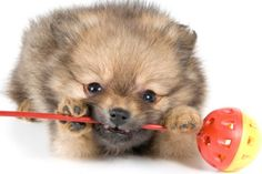 PetPom | Expert Recommended Toys for Your Pomeranian@pookapoke