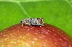 Plant Pests, Fruit Trees, Grape Vines, Insects, Paradis, Garden Ideas, Gardening, Urban, Plant