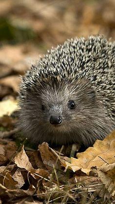 Cute European Hedgehog (not Porcupine) Nature Animals, Animals And Pets, Baby Animals, Funny Animals, Cute Animals, Strange Animals, Beautiful Creatures, Animals Beautiful, Little Critter