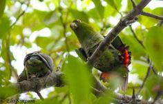 Brown-backed Parrotlet (Touit melanonotus)
