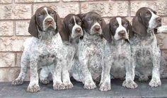 Katie's 4 pups and Luke's pup next door