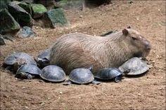 Every self-respecting capybara deserves turtle minions. LOL