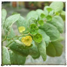 Floração da Mil Cores - Breynia Nivosa. A beleza dessa planta, dizem, está nas folhas coloridas de verde, branco, creme e rosa. Comercialmente, talvez. Mas essas diminutas flores de aproximadamente 5mm me dizem o contrário.