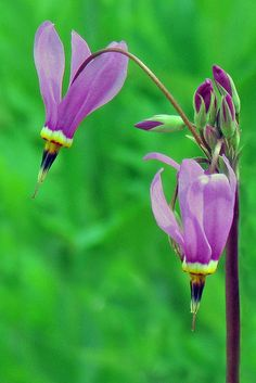 Puruple Shooting Star Flowers