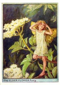The elder flower fairy