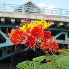 NYA - Caesalpinia pulcherrima 'Pride of Barbados'  Pride of Barbados is a fast growing shrub or small tree native to the West Indies with red to orange flowers with long showy red stamens. Caesalpinia pulcherrima can freeze back in the winter but it will quickly sprout back in the spring. Pride of Barbados is heat and drought tolerant and can grow to 6′ by 6′. Attracts butterflies!  Hardiness Zone: 10, 11, 9 Plant Use: Flowering Perennial Exposure: Full Sun