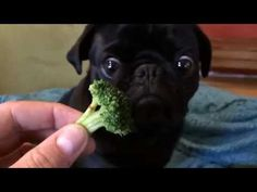 I need to show my gang this. They won't eat any veggies. Just meat, all meat, and nothing but meat. Though I do mix in a whole food so they can't ignore it. This Pug's Reaction To Broccoli Will Surprise You
