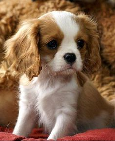 Brown and white King Charles Spaniel puppy dog #KingCharlesSpaniel #puppydog  #Animals