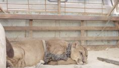 Mountain lion was chained for 20 years, has priceless reaction after finally getting freed - Blooper News - News by you for you!™