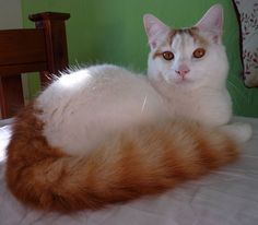 White cat with an orange tabby tail!