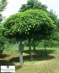 trees in small gardens & gardens trees ; trees for small gardens ; trees for small gardens uk ; trees in small gardens Unique Gardens, Small Gardens, Beautiful Gardens, Garden Trees, Garden Planters, Catalpa Bignonioides Nana, Baumgarten, Hanging Herbs, Fast Growing Trees