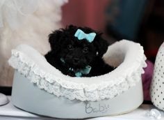 Teacup Poodle Puppies dogs