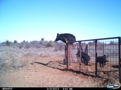 Can you believe this? An Oklahoma hunter caught four hogs in his trap, and then found this photo of a hog leaping over the top of the trap fence to escape!