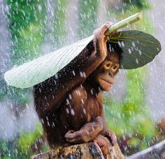whatthefauna:  Orangutans often use a large leaf as an umbrella when it rains. This one found a taro leaf to keep itself dry.Image credit: Andrew Suryono