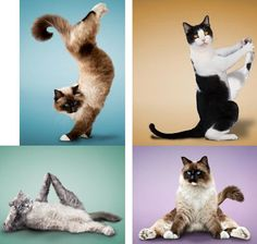 images of cats doing yoga