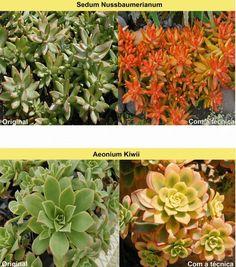 Suculentas Coloridas (Español) - Dicas Muito Uteis! Edible Succulents, Repotting Succulents, Succulents In Glass, Succulents Online, Succulents For Sale, Flowering Succulents, Colorful Succulents, Hanging Succulents, Growing Succulents