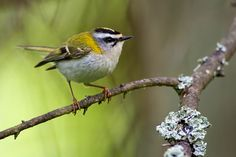 Zniczek White Eyes, Bird Watching, Bird Feathers, Birds, Pictures, Animals, Photos, Animales, Animaux