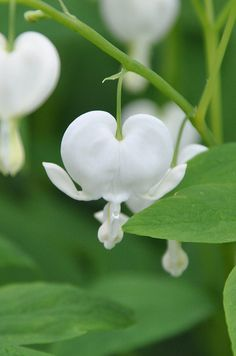 Bleeding Heart Alba ♥--Pink Bleeding Heart is beautiful, too...but I just love the white!