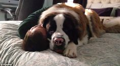 Sully the Saint Bernard loves his dad so much that he can't help but give him a massive cuddle