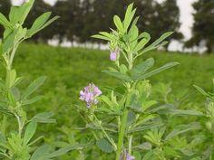 La importancia de la alfalfa en la producción de leche y carne