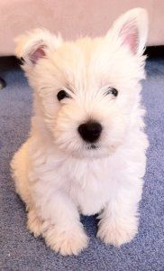 I sooooo want a pair of Westies...one of the few dogs that looks the same from puppy to adult :-D