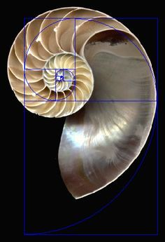 The Nautilus does not fit the traditional golden spiral that expands every 90 degrees. It's closer to one that expands by a golden ratio every 180 degrees. Concha Nautilus, Nautilus Shell, Sacred Architecture, Concept Architecture, Golden Ratio Spiral, Leonardo Fibonacci, Spirals In Nature, Aqua Background, Fibonacci Spiral