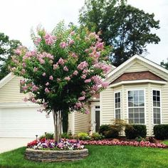 Pink Velour Crape Myrtle....have this tree - this looks more like the color on the tag than the pics on google