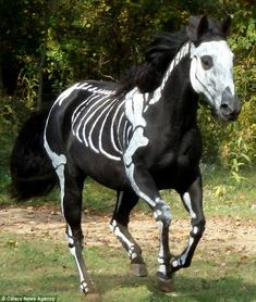 Bony bareback: Raven the horse has been turned into a 'Skeleton Horse' to celebrate Halloween