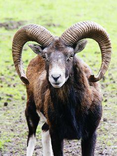 ˚Mufflon, Wild Sheep - Germany