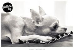 Relax after a shopping day <3  #blackandwhite #relax #bed #chain #chihuahualovers #style #fashion