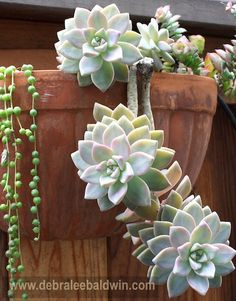 "excellent article written by succulent expert Debra Lee Baldwin on   ""Ghost Plants"" Graptopetalum paraguayense"