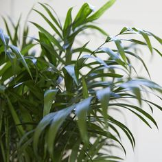 Sharon our Parlour Palm is the perfect plant for beginners and busy Londoners. Learn more about the Chamaedorea & buy online from Patch.