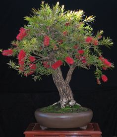 The upright styles in bonsai are one of the most popular and easy styles for beginners. Learn all about the two main upright styles in bonsai growing. Flowering Bonsai Tree, Bonsai Tree Care, Indoor Bonsai Tree, Mini Bonsai, Bonsai Plants, Bonsai Garden, Succulents Garden, Cactus Plants, Arrangements Ikebana