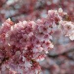 Sakura : les cerisiers en fleurs du Japon