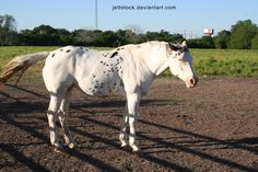 black pintaloosa - unknown horse - I'm guessing it's leopard complex + splash white