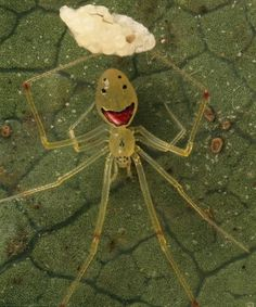 Улыбающийся паук Theridion grallator - Фауна - Всемирная корпорация RealSWorld