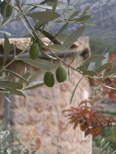 An olive tree in the Mediterranean.