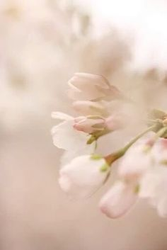 Delicate buds as Spring inspiration Pretty In Pink, Beautiful Flowers, Soft Colors, Belle Photo, Spring Time, Early Spring, Bloom, Delicate, Pink Flowers