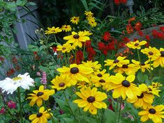 """Brown Eyed Susans""  And now it's time for Brown Eyed Susans"
