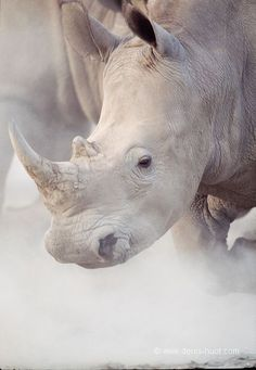 White Rhino - Just 7 left in the world. White Rhinos have a hump of muscle on their neck & shoulders to hold up a head that can weigh upto 1,000 lbs.