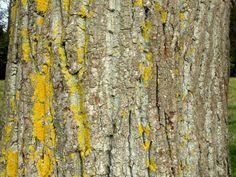 Discover the rare black poplar tree. Poplar Tree, Deciduous Trees, Growing Tree, Leaves, Water, Google, Black, Gripe Water, Black People