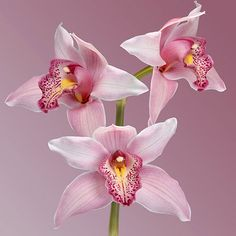 orchid cymbidium flower .