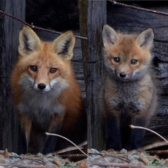 Red Foxes by Ross Button on 500px