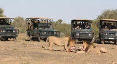 Lions, Addo Elephant National Park, South Africa