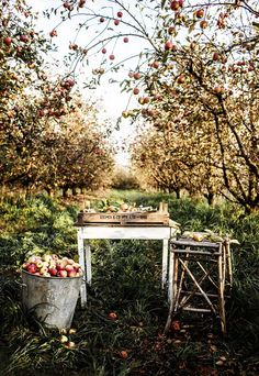 gorgeous orchard setting by photographer Kara Rosenlund FleaingFrance.gorgeous orchard setting by photographer Kara Rosenlund Kara Rosenlund, Purple Home, The Design Files, Blog Design, Apple Tree, Red Apple, Parcs, Fruit Trees, Farm Life