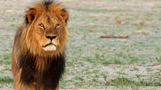 Cecil the lion, star attraction at Hwange National Park, was shot with an arrow, stalked for 40 hours, then when found shot & killed, beheaded and skinned by an american dentist in June 2015.  Now they will have to kill his cubs as well, in order to introduce a new male to his pride.