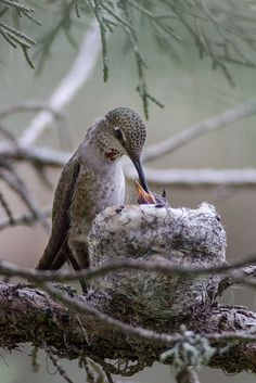 Hummingbird and babies in nest - super cool considering how small the hummingbird is Kinds Of Birds, All Birds, Love Birds, Animals Beautiful, Beautiful Birds, Annas Hummingbird, Hummingbird Nests, Bunt, Bird Pictures