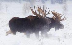 Paul Martin's Jackson Hole Wildlife Photography Safaris, Wyoming – Yellowstone, Grand Teton National Parks Scenic and Wildlife Tours Moose Pics, Moose Pictures, Moose Deer, Moose Hunting, Bull Moose, Animal Pictures, Moose Art, Alaska, Beautiful Creatures