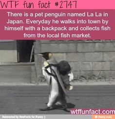 Omg I'd go to Japan just to see this adorable penguin!!!!!!!!! I wuvz them!!!!!