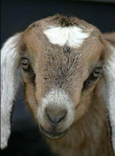 Adorable Nubian Goat Kid.